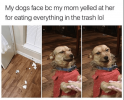 dog-my-dogs-face-bc-my-mom-yelled-at-her-eating-everything-trash-lol.png
